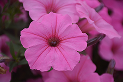 Supertunia Vista® Bubblegum Petunia (Petunia 'Supertunia Vista Bubblegum') at River Street Flowerland