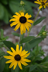 American Gold Rush Coneflower (Rudbeckia 'American Gold Rush') at River Street Flowerland