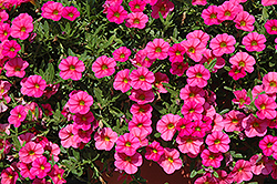Cabaret® Hot Pink Calibrachoa (Calibrachoa 'Cabaret Hot Pink') at River Street Flowerland