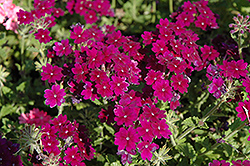 Lanai® Deep Purple Verbena (Verbena 'Lanai Deep Purple') at River Street Flowerland