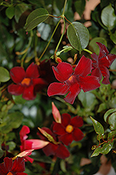 Sun Parasol® Pretty Deep Red Mandevilla (Mandevilla 'Sun Parasol Pretty Deep Red') at River Street Flowerland