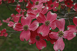 Cherokee Chief Flowering Dogwood (Cornus florida 'Cherokee Chief') at River Street Flowerland