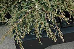 Green Carpet Juniper (Juniperus communis 'Green Carpet') at River Street Flowerland