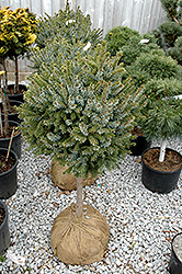 Dwarf Serbian Spruce (tree form) (Picea omorika 'Nana (tree form)') at River Street Flowerland