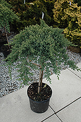 Dwarf Japanese garden Juniper (tree form) (Juniperus procumbens 'Nana (tree form)') at River Street Flowerland