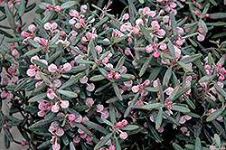Blue Ice Bog Rosemary (Andromeda polifolia 'Blue Ice') at River Street Flowerland