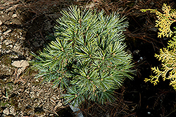Blue Ball Korean Pine (Pinus koraiensis 'Blue Ball') at River Street Flowerland
