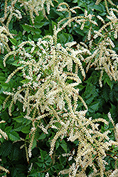 Misty Lace Goatsbeard (Aruncus 'Misty Lace') at River Street Flowerland