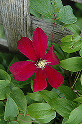 Sunset Clematis (Clematis 'Sunset') at River Street Flowerland