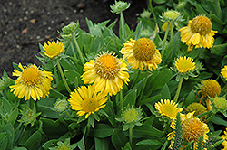 Mesa Yellow Blanket Flower (Gaillardia x grandiflora 'Mesa Yellow') at River Street Flowerland