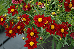 Mercury Rising Tickseed (Coreopsis 'Mercury Rising') at River Street Flowerland