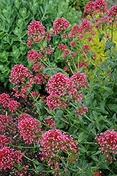 Red Valerian (Centranthus ruber 'Coccineus') at River Street Flowerland