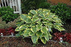Seducer Hosta (Hosta 'Seducer') at River Street Flowerland