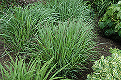 Cheyenne Sky Switch Grass (Panicum virgatum 'Cheyenne Sky') at River Street Flowerland