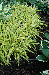 Banana Boat Broadleaf Sedge (Carex siderosticha 'Banana Boat') at River Street Flowerland