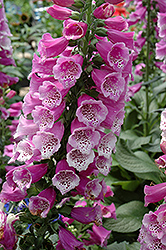 Dalmatian Purple Foxglove (Digitalis purpurea 'Dalmatian Purple') at River Street Flowerland