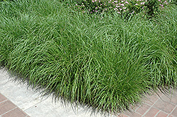Fountain Grass (Pennisetum alopecuroides) at River Street Flowerland