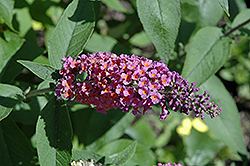 Bicolor Butterfly Bush (Buddleia x weyeriana 'Bicolor') at River Street Flowerland