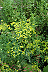 Dill (Anethum graveolens) at River Street Flowerland