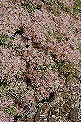 Rock 'N Grow® Pure Joy Stonecrop (Sedum 'Pure Joy') at River Street Flowerland