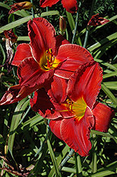 Sun Dried Tomatoes Daylily (Hemerocallis 'Sun Dried Tomatoes') at River Street Flowerland