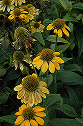 Sombrero® Lemon Yellow Coneflower (Echinacea 'Balsomemy') at River Street Flowerland