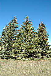 White Spruce (Picea glauca) at River Street Flowerland