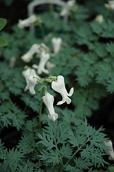 Ivory Hearts Bleeding Heart (Dicentra 'Ivory Hearts') at River Street Flowerland