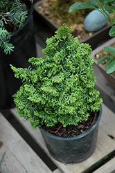 Gemstone Hinoki Falsecypress (Chamaecyparis obtusa 'Gemstone') at River Street Flowerland