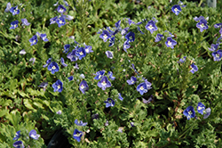 Tidal Pool Speedwell (Veronica 'Tidal Pool') at River Street Flowerland