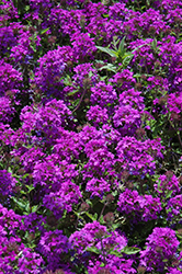Homestead Purple Verbena (Verbena 'Homestead Purple') at River Street Flowerland