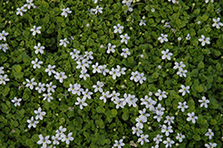 Blue Star Creeper (Isotoma fluviatilis) at River Street Flowerland