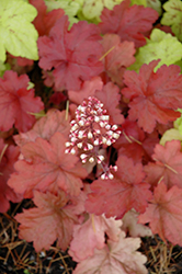 Fire Alarm Coral Bells (Heuchera 'Fire Alarm') at River Street Flowerland