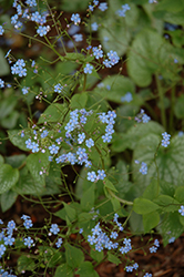Alexander's Great Bugloss (Brunnera macrophylla 'Alexander's Great') at River Street Flowerland