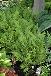 Lady in Red Fern (Athyrium filix-femina 'Lady in Red') at River Street Flowerland