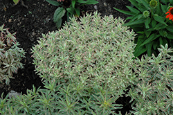 First Blush Spurge (Euphorbia polychroma 'First Blush') at River Street Flowerland