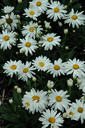 Whoops-A-Daisy Shasta Daisy (Leucanthemum x superbum 'Whoops-A-Daisy') at River Street Flowerland