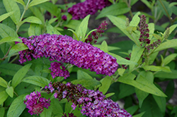 Crown Jewels Butterfly Bush (Buddleia 'Crown Jewels') at River Street Flowerland