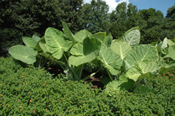 Giant Elephant Ear (Colocasia gigantea) at River Street Flowerland