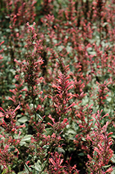 Kudos Coral Hyssop (Agastache 'Kudos Coral') at River Street Flowerland