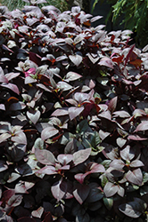 Little Ruby Alternanthera (Alternanthera dentata 'Little Ruby') at River Street Flowerland