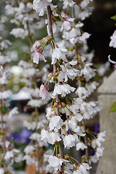 Snow Fountains Yoshino Cherry (Prunus 'Snow Fountains') at River Street Flowerland