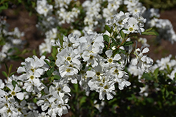 Snow Day® Blizzard Pearlbush (Exochorda 'Blizzard') at River Street Flowerland