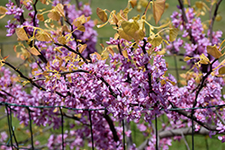 The Rising Sun Redbud (Cercis canadensis 'The Rising Sun') at River Street Flowerland