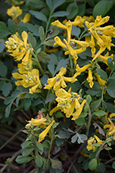 Canary Feathers Corydalis (Corydalis 'Canary Feathers') at River Street Flowerland