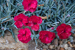Frosty Fire Pinks (Dianthus 'Frosty Fire') at River Street Flowerland