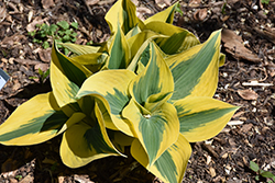 Autumn Frost Hosta (Hosta 'Autumn Frost') at River Street Flowerland