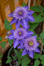 Multi Blue Clematis (Clematis 'Multi Blue') at River Street Flowerland
