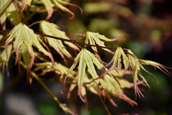 Peaches And Cream Japanese Maple (Acer palmatum 'Peaches And Cream') at River Street Flowerland