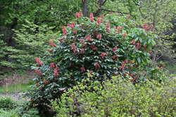 Red Buckeye (Aesculus pavia) at River Street Flowerland